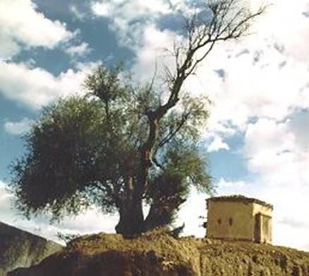 Immagine dell'olivo millenario detto di sant'Agostino a Tagaste